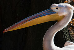 Great white pelican (Pelecanus onocrotalus) Stock Photo