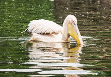 Great white pelican - Pelecanus onocrotalus – with reflection Royalty Free Stock Photos