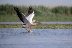 Great-white pelican, Pelecanus onocrotalus Royalty Free Stock Photo