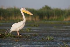 Great-white pelican, Pelecanus onocrotalus Stock Image
