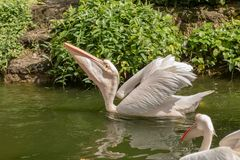 Great white pelican, Pelecanus onocrotalus, swimming in pond royalty free stock photo