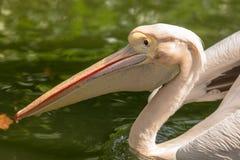 Great white pelican, Pelecanus onocrotalus, swimming in pond stock images