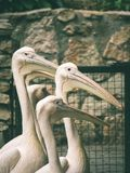 Great white pelican (Pelecanus onocrotalus) - vintage green effe Royalty Free Stock Image