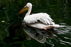 Great white pelican (Pelecanus onocrotalus) on the water Stock Photos