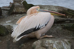 Great White Pelican, Pelecanus onocrotalus, in winter color Royalty Free Stock Photo