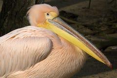 Great White Pelican, Pelecanus onocrotalus, in winter color Stock Photo