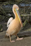 Great White Pelican, Pelecanus onocrotalus, in winter color Royalty Free Stock Photos