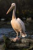 Great White Pelican, Pelecanus onocrotalus, in winter color Stock Images