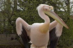 Great White Pelican, Pelecanus onocrotalus, in winter color Royalty Free Stock Images
