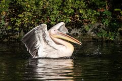 Great White Pelican, Pelecanus onocrotalus in the zoo. The Great White Pelican, Pelecanus onocrotalus also known as the rosy pelican is a bird in the pelican royalty free stock image
