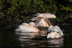 Great White Pelican, Pelecanus onocrotalus in the zoo. The Great White Pelican, Pelecanus onocrotalus also known as the rosy pelican is a bird in the pelican royalty free stock photo