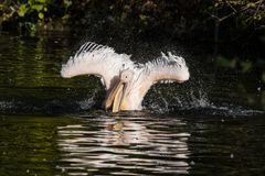 Great White Pelican, Pelecanus onocrotalus in the zoo. The Great White Pelican, Pelecanus onocrotalus also known as the rosy pelican is a bird in the pelican stock images