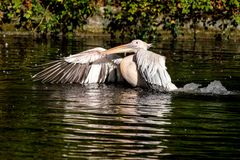 Great White Pelican, Pelecanus onocrotalus in the zoo stock images