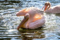 Great White Pelican, Pelecanus onocrotalus in the zoo. The Great White Pelican, Pelecanus onocrotalus also known as the rosy pelican is a bird in the pelican stock photo