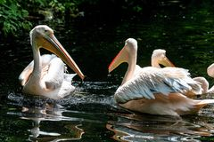 Great White Pelican, Pelecanus onocrotalus in the zoo. The Great White Pelican, Pelecanus onocrotalus also known as the rosy pelican is a bird in the pelican royalty free stock photography