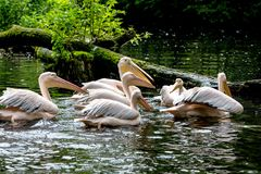 Great White Pelican, Pelecanus onocrotalus in the zoo. The Great White Pelican, Pelecanus onocrotalus also known as the rosy pelican is a bird in the pelican royalty free stock photos