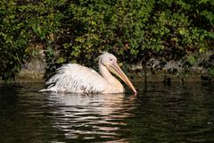 Great White Pelican, Pelecanus onocrotalus in the zoo. The Great White Pelican, Pelecanus onocrotalus also known as the rosy pelican is a bird in the pelican stock image