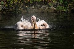 Great White Pelican, Pelecanus onocrotalus in the zoo. The Great White Pelican, Pelecanus onocrotalus also known as the rosy pelican is a bird in the pelican royalty free stock images