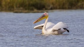 Great White Pelican in Water. Great white pelican Pelecanus onocrotalusis is ruffling her feathers while swimming on the lake Royalty Free Stock Images