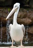 Great White Pelican. Pelicans are very large birds with very long bills characterised by a downcurved hook at the end of the upper mandible, and the attachment Royalty Free Stock Images