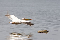 Great White Pelican (Pellecanus onocrotalus) Stock Images
