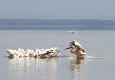 Great White Pelican (Pellecanus onocrotalus) Stock Photo