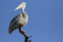 Great White pelican perches on a branch. Royalty Free Stock Photo