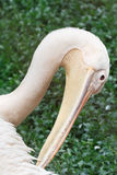 Great white pelican portrait Stock Photography