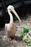 Great white pelican. Portrait of a great white pelican Royalty Free Stock Photo