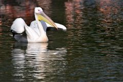 Great white pelican portrait royalty free stock image