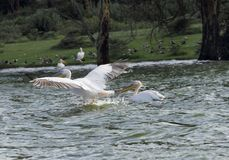 Great White Pelican ready to take flight Stock Image