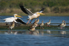 Great White Pelican South Africa. A Great White Pelican taking off in South Africa royalty free stock image