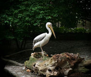 Great white pelican standing on a tree trunk Royalty Free Stock Image