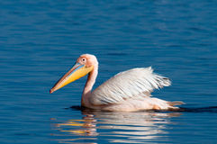 Great White Pelican Swimming Royalty Free Stock Photography