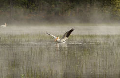 Great white pelican swimming on Elk lake Stock Images