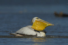 Great white pelican Royalty Free Stock Photos