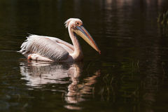 Great white pelican Stock Images