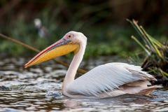 Great white pelican swimming on Lake Narasha National Park, Kenya, Africa Royalty Free Stock Images