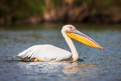 Great white pelican swimming on Lake Narasha National Park, Kenya, Africa Royalty Free Stock Image