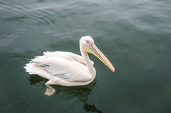 A great white pelican Stock Image