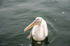 A great white pelican Stock Images