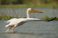 Great White Pelican Taking off Royalty Free Stock Photos