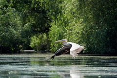 Great white pelican taking off Royalty Free Stock Photography