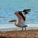 Great white pelican taking off from the shore Royalty Free Stock Photography