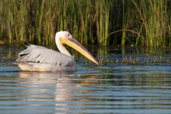 Great White Pelican on water Stock Photos