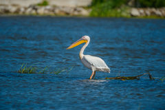 Great white pelican Stock Image