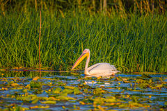 Great white pelican. On water in Danube Delta Stock Photography