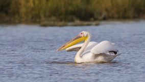 Great White Pelican in Water. Great white pelican Pelecanus onocrotalusis is ruffling her feathers while swimming on the lake Stock Photo