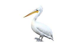 Great White Pelican on white Stock Photo