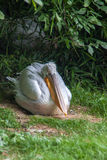 Great White Pelican. In the wild royalty free stock image